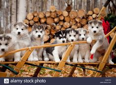 Siberian Husky puppies in traditional wooden dog sled with ...