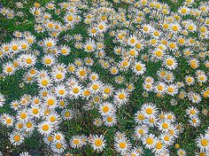 Daisies in bloom along Joe's Point Road, St. Andrews, NB - Summer 2014