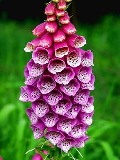 Plants Ideal for cottage garden: Foxglove (Sun/Part Shade, Soil: Moist, Height: 150 cm)