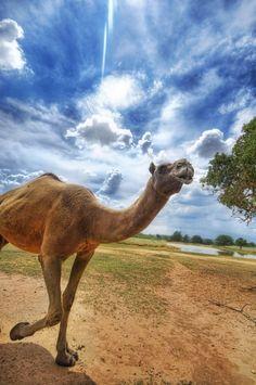 Camel by Trey Ratcliff - HDR Photography Beautiful Creatures, Animals Beautiful, Recherche Photo, Photo Processing, Hdr Photography, Types Of Animals, My Favorite Image, Belleza Natural, Animal Kingdom