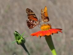 Mariposas en flor de tacote