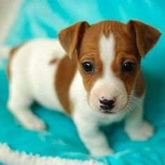 Adorable Cute Jack Russell Puppy