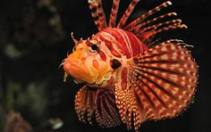 Zebra Turkey Fish | Zebra Turkeyfish