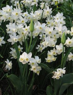 Daffodil Sailboat, a multi flowering white daffodil