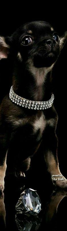 #raredogbreeds #chihuahua