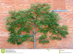 Espalier Tree And Red Brick Wall Royalty Free Stock Image - Image ...