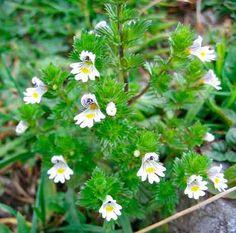 La eufrasia es un excelente remedio natural para la conjuntivitis, orzuelos y como sustituto de los colirios.