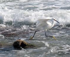 Egret, Bathtub beach FL