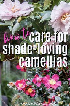 Camellia Tree, Camellia Plant, Plants Under Trees, Small Trees, Ponds Backyard, Backyard Landscaping, Shade Loving Shrubs