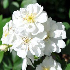 Pflanzen-Kölle Ramblerrose 'Guirlande d'Amour®'.  Ausgesprochen gesunde, mittelstark wachsende Ramblerrose mit weißen, unermüdlich erscheinenden Blüten. Rambler Rose, Rose Foto, English Roses, Gardening, Plants, Instagram, Rose Bush, Garland, Love