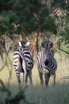 Zebras - Akagera National Park, Rwanda. BelAfrique your personal travel planner - www.BelAfrique.com