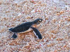 every year millions of baby turtles leave their birth place to run into the sea. Many of them never reach the water: they are eaten by birds, or by stray dogs or stopped from human waste (plastics for a major). We don't want them to disappear in the next 50 years. Leave the beaches clean and respect life #savetheplanet Save The Sea Turtles, Sultanate Of Oman, Respect Life, Clean Beach, Baby Turtles, Save The Planet, Stray Dog, Beaches, Birth