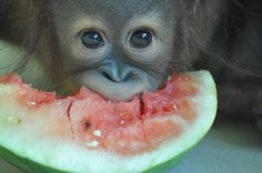 Orangutan baby ~ you'd finished with the watermelon hadn't you? I thought what was left, was for me? Animals And Pets, Baby Animals, Funny Animals, Cute Animals, Monkey See Monkey Do, Ape Monkey, Magnificent Beasts, Baby Orangutan, Lovely Creatures