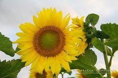 Sunflower happy face