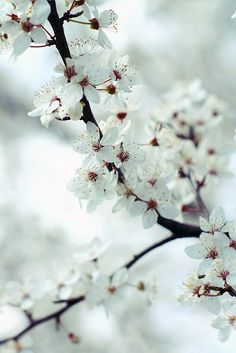 cherry tree in bloom white flowers Amazing Flowers, White Flowers, Beautiful Flowers, My Flower, Flower Power, Flor Magnolia, Spring Song, Spring Time, Arte Floral