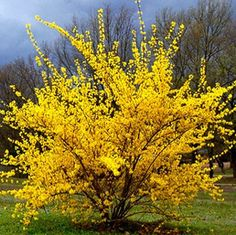 """How to Prune Cane-Growing Shrubs: Keep new plants looking young and make old plants look like new"" Forsythia bush Garden Shrubs, Garden Plants, Garden Landscaping, Landscaping Software, Landscaping Design, Flowering Bushes, Trees And Shrubs, Fine Gardening, Gardening Tips"