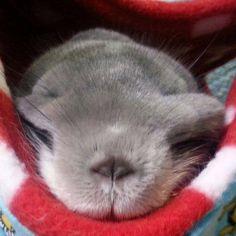 Charm sleeping in a hammock. Sleepy Chin!