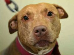 TO BE DESTROYED - 10/06/14 Manhattan Center  My name is VITA. My Animal ID # is A0920790. I am a spayed female tan and white pit bull mix. The shelter thinks I am about 7 YEARS old.  **$150 DONATION to the NEW HOPE RESCUE that pulls!!**  *** RETURNED AGAIN ON 9/29/14 ***  I came in the shelter as a OWNER SUR on 09/29/2014 from NY 10031, owner surrender reason stated was…