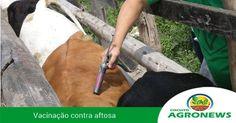 AGRICULTURA ORIENTA VACINAÇÃO CONTRA AFTOSA, QUE COMEÇA DIA 1º