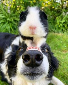 Funny Dogs, Funny Animals, Cute Animals, Unusual Animal Friendships, Cute Guinea Pigs, Love Dogs, Golden Retriever, Border Collie, Collie Dog