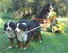 """Bernese Mountain dogs - """"Willow, age 5, Bailey age 3, Whisper age 1. Willow is Whisper's mother."""""""