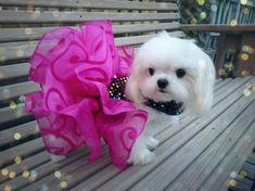 Super dogs and puppies breeds maltese animals ideas Teacup Puppies, Cute Puppies, Cute Dogs, Dogs And Puppies, Doggies, Teacup Maltese, Beautiful Dogs, Animals Beautiful, Shih Tzu Hund