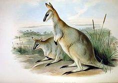 Le Wallaby de Grey (Macropus greyi) est une espèce de wallaby, aujourd'hui éteinte, qui vivait dans le sud-ouest de l'Australie-Méridionale et le sud-ouest de l'État de Victoria, en Australie. Il était relativement commun jusque vers 1910, mais très rare dès 1923 du fait de la chasse intensive à laquelle il fut soumis, notamment pour sa fourrure, de l'introduction du renard dans son habitat naturel et de la destruction de ce dernier par l'homme. Le dernier individu meurt en captivité en…