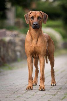 year of life: week Rhodesian Ridgeback Puppies, Purebred Dogs, Rottweiler Puppies, Big Dogs, Cute Dogs, Dogs And Puppies, Chihuahua Dogs, Lion Dog, Dog Cat