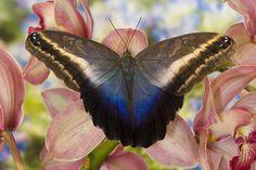 Darrel Gulin Photography   Gallery   Butterflies I Caligo oileus the Brown Owl Butterfly