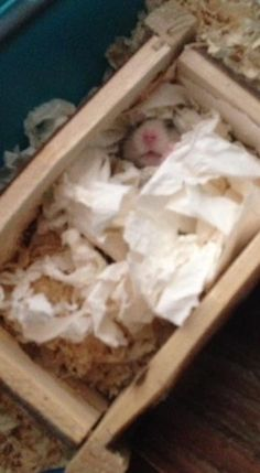 Been told Chunk sleeps on his back witnessed it for the first time today! #aww #Cutehamsters #hamster #hamstersofpinterest #boopthesnoot #cuddle #fluffy #animals #aww #socute #derp #cute #bestfriend #itssofluffy #rodents