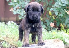"The breed is commonly referred to as the ""Mastiff"". Also known as the English Mastiff this giant dog breed gets known for its splendid, good natu Mastiff Puppies For Sale, English Mastiff Puppies, Puppies Puppies, Mastiff Breeds, Mastiff Dogs, Giant Dog Breeds, Giant Dogs, Wallpaper English, Neopolitan Mastiff"