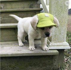 What could be cuter than a puppy in a hat! When I get a puppy it will need one of these Machiko Puppy Hats. - Best stuff for Dogs and Dog Lovers! Animals And Pets, Baby Animals, Funny Animals, Cute Animals, Puppy Hats, Super Cute Dogs, Cute Small Dogs, Summer Dog, Tier Fotos