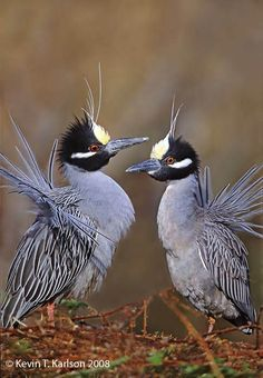 Yellow-crowned Night Herons, Courtship Display,