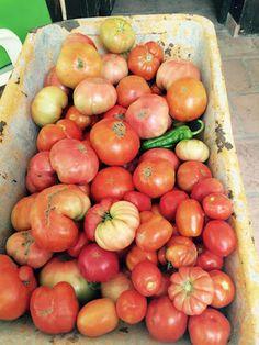 """Sabores Valle de Lecrín, al sur de Granada. ¿Os acordáis de las frutas y verduras de antes? No tenían todas el mismo tamaño y """"calibre"""", ni el mismo color...pero si que tenían mucho sabor. En particular esto era cierto de los tomates. Quizás estos de la foto no son tan atractivos como los que venden en el """"super"""" pero ¡caramba si que tienen sabor a tomate!"""