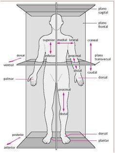 The body in situ, anatomical correct position when studying anatomy.
