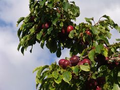 kereru gold plum - Google Search