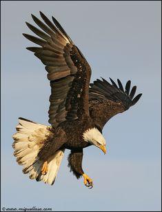 The American Bald eagle Nicolas Vanier, Animals Tattoo, Eagle Tattoos, Wing Tattoos, Tribal Tattoos, Sleeve Tattoos, Eagle Wallpaper, Eagle Pictures, Eagle Art