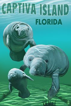 Captiva Island Florida  Manatees Art Prints by NightingaleArtwork