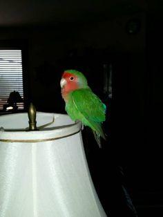 FOUND LOVEBIRD: 09/12/2017 - Mission Canyon, California, CA, United States. Ref#: F36671 - #CritterAlert #FoundPet #FoundBird #FoundParrot #FoundLovebird