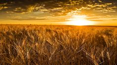 Agriculture Commodities play a huge role in influencing our economy. Find agricultural commodity cash prices for Grains, Oilseeds, VegOils, Palm Oil and Meals at commoditybasis.com.