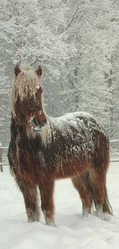 Horses: An Icelandic Horse in the snow. All The Pretty Horses, Beautiful Horses, Animals Beautiful, Cute Animals, Wild Animals, Animals In Snow, Icelandic Horse, Tier Fotos, Majestic Horse