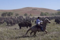 A rider works to move buffalo across the prairie Friday morning during the 50th Custer State Park Buffalo Roundup. Around 60 riders helped gather the herd of buffalo for the final push into the corrals as spectators gathered to watch the event. Check out the photo gallery! #CusterStatePark #buffaloroundup #bison #welovesouthdakota #BlackHills #prairie Custer State Park, Friday Morning, God Bless America, Bison, South Dakota, Rodeo, Road Trips, 50th, Sd
