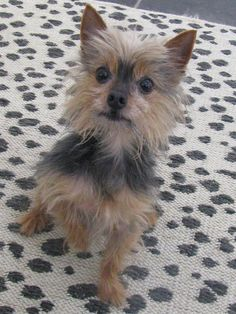 Tyler is an adoptable Yorkshire Terrier Yorkie searching for a forever family near Daphne, AL. Use Petfinder to find adoptable pets in your area.