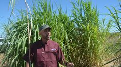 Russ Jessup, a Texas A&M AgriLife Research perennial grass breeder in College Station, is introducing a new biofuel-biomass feedstock hybrid. <br><small>Texas A&M AgriLife Communications photo by Kay Ledbetter</small>