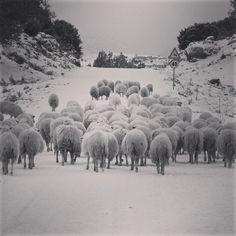 Pecore sotto-la-neve.Ogliastra
