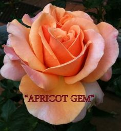 Beautiful Roses, Bloom, Gems, Plants, Australia, Gardens, Paintings, Fall, Flowers