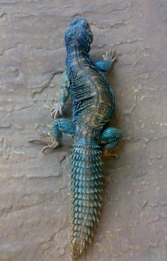 Ornate Mastigure (Uromastyx ornata), a species of lizard in the family Agamidae, endemic to the Middle East Cute Reptiles, Reptiles And Amphibians, Mammals, Nature Animals, Animals And Pets, Cute Animals, Uromastyx Lizard, Lizard Dragon, Chameleon Lizard
