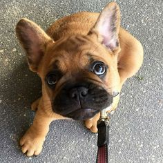 """""""Pick me up...I'm tired"""", a French Bulldog Puppy that is OVER their Walk❤️"""