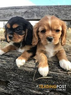 Cavalier King Charles Spaniels for sale in Ipswich QLD - Cavalier King Charles Spaniels King Charles Puppy, Cavalier King Charles Dog, King Charles Spaniel, Kittens And Puppies, Cute Dogs And Puppies, Baby Dogs, Doggies, Cute Dogs Breeds, Best Dog Breeds