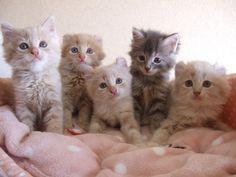 【旅立っていった子猫たち】りぃちゃんに妹★の画像 | アメリカンカール★MARINE's BLOG★